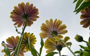 daisies-from-below-image