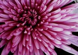 pink-chrysanthemum-image
