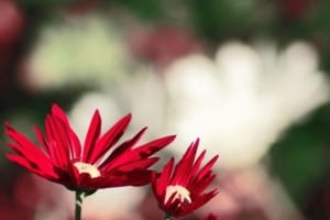 red-flower-faded-background-image