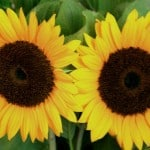 twin-sunflower-image