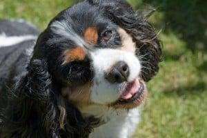 cute-dog-tongue-brown-white-black-image