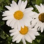 daisy-flowers-image