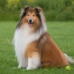 collie-dog-sitting-image