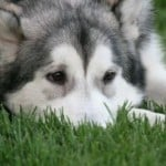 husky-nose-in-grass-image