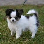 black-white-curly-tailed-dog-image