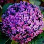 bright-purple-hydrangea-image
