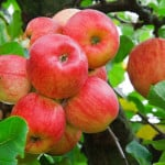red-apples-bunch-image