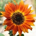 red-orange-sunflower-bright-image