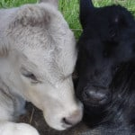 baby-calves-image