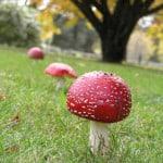 red-mushrooms-row-image