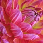 dahlia-pink-yellow-close-image