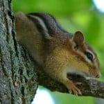 tree-chipmunk-image