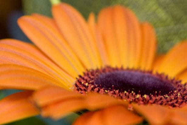 orange-gerbera-daisy-close-up-image