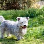 little-white-dog-grass-image