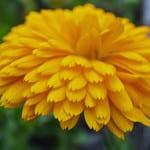 Yellow-huge-flower-image