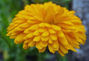 Yellow-huge-flower-image