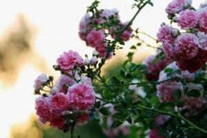 roses-pink-bush-image