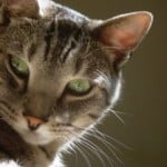 hey-there-tabby-cat-image