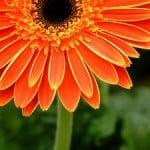 big-orange-flower-black-center-image