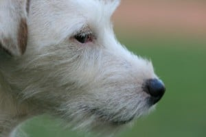 sweet-white-jack-dog-image