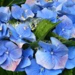 blue-hydrangea-up-close-image