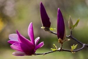 purple-magnolia-image
