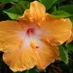 orange-hibiscus-image