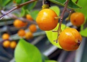 oranges-tree-image