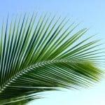 palm-leaf-image