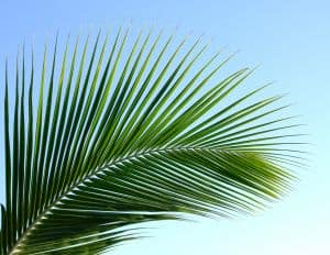 palm-leaf-image
