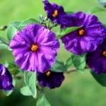 purple-flowers-yellow-center-green-image