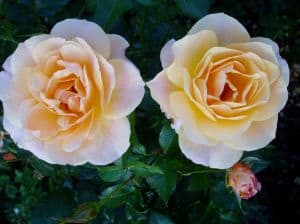 pale-roses-image
