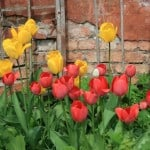 tulips-brick-wall-image