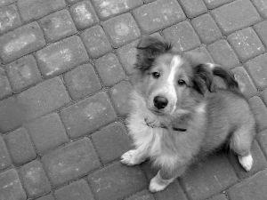 black-white-sheltie-looking-at-camera-image