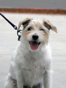 happy-smiling-white-brown-dog-leash-image