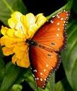 orange-butterfly-yellow-flower-image