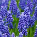blue-hyacinth-rows-image