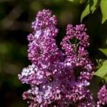 vivid-purple-lilacs-image