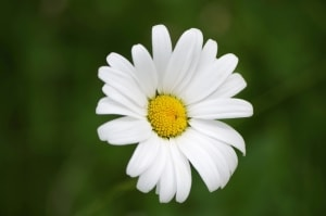 lovely-simple-daisy-image