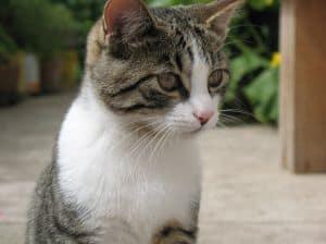 cat-in-the-garden-gray-white-image