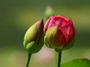 WAHM-Revolution-rosebud-image