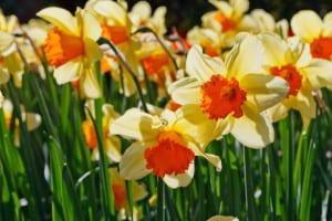daffodils-sun-image