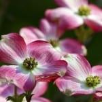 pink-dogwood-flowers-image
