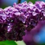 beautiful-purple-flowers-blue-background-image