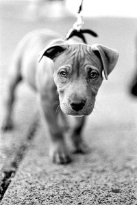 puppy-on-leash-b-w-image