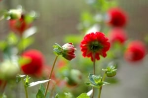 summer-flowers-red-green-image