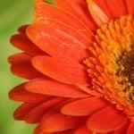 gerbera-daisy-image