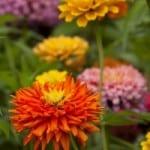 multicolor-zinnias-field-image