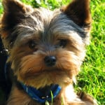 cute-brown-terrier-blue-collar-image