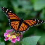 monarch-on-yellow-pink-flowers-image